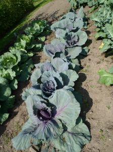 Cabbage, red and green
