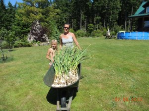 Cari's garlic harvest